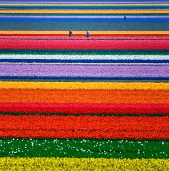tulips filds