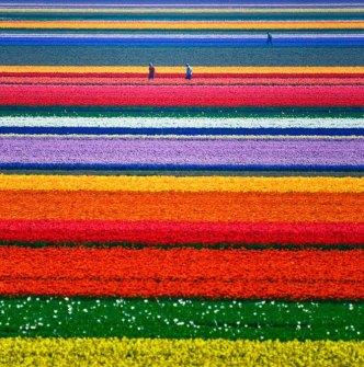 tulips filds